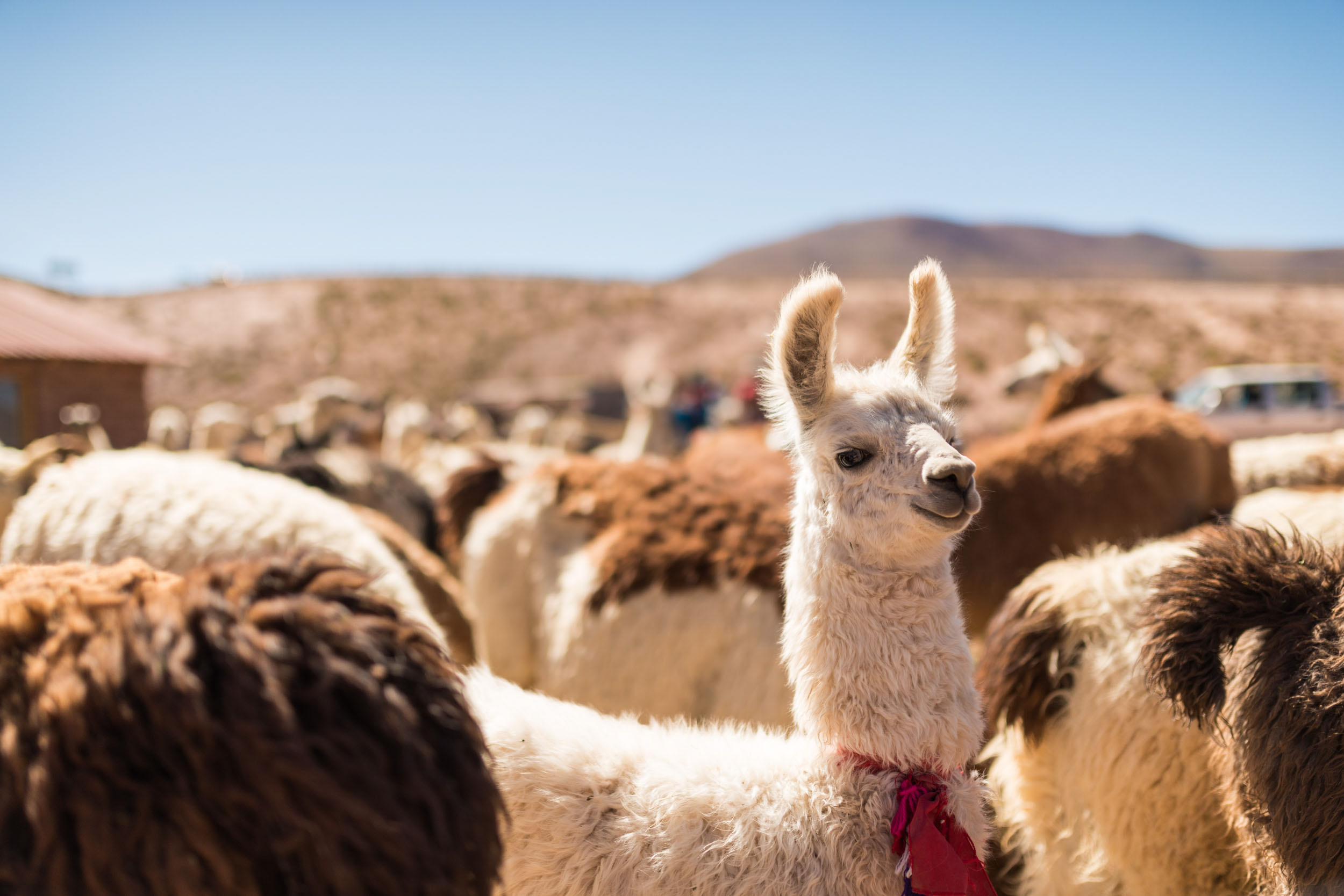 llama-atacama-desert-chile-animal-south-america